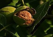la noix de grenoble etces bienfaits